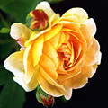 Yellow Rose by Paul  Trunk