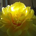Yellow Rose by Robyn R Hazen