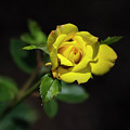 Yellow Rose Square by Christina Rollo