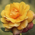 Yellow Rose Squared by Sabrina L Ryan