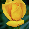 Yellow Rose by Stanton Tubb