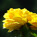 Yellow Rose Sunlit Rose Garden Landscape Art Baslee Troutman  by Baslee Troutman