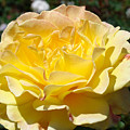 Yellow Rose Sunlit Summer Roses Flowers Art Prints Baslee Troutman by Baslee Troutman