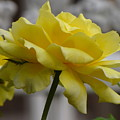 Yellow Rose by Torie Beck