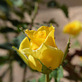 Yellow Rose With Ants by Aimee L Maher ALM GALLERY