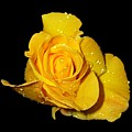 Yellow Rose With Dew Drops by Patricia Barmatz