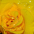 Yellow Rose With Droplets By Kaye Menner by Kaye Menner