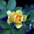 Yellow Rose With Purple Contrast 0357 H_2 by Steven Ward