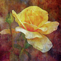 Yellow Rose With Raindrops 3590 Idp_2 by Steven Ward