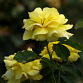 Yellow Roses by Ann Keisling