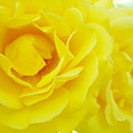 Yellow Roses Art Prints Botanical Giclee Prints Baslee Troutman by Baslee Troutman