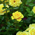 Yellow Roses by Clyn Robinson