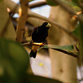 Yellow-rumped Cacique 3 by Chris Flees
