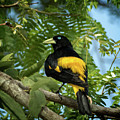 Yellow Rumped Cacique by Steven Upton