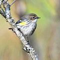 Yellow-rumped Warbler by Alan Lenk