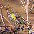 Yellow-rumped Warbler by Bill And Deb Hayes