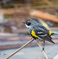 Yellow-rumped Warbler  by Charlaine Jean