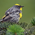 Yellow-rumped Warbler by Deanna Cagle