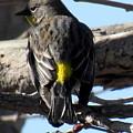 Yellow Rumped Warbler by Joshua Bales