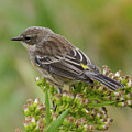 Yellow Rumped Warbler by Judd Nathan