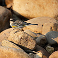 Yellow Rumped Warbler On River Rocks by Michael Dougherty