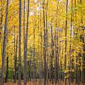 Yellow Saplings by Diane Moore