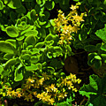Yellow Sedum At Pilgrim Place In Claremont-california by Ruth Hager