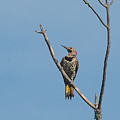 Yellow Shafted Flicker Front by Paula Ponath