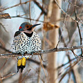 Yellow-shafted Northern Flicker Staying Warm by Edward Peterson