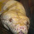 Yellow Snake by David and Carol Kelly