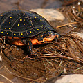Yellow-spotted Turtle Crawling Through Wetland by Max Allen