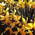 Yellow Spring Daffodils by Melissa Stephenson