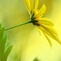 Yellow Spring Daisy Abstract By Kaye Menner by Kaye Menner