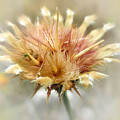 Yellow Star Thistle by Valerie Anne Kelly