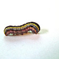 Yellow-striped Armyworm - Spodoptera Ornithogalli by Mother Nature