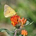 Yellow Sulphur Butterfly by Sharon Woerner