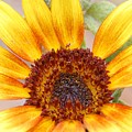 Yellow Sunflower by Amy Fose