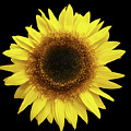 Yellow Sunflower Isolated On Black Background 8 by Valdis Veinbergs