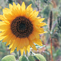 Yellow Sunflower by Mary Pearson