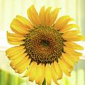 Yellow Sunflower by Oleg Ver