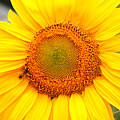 Yellow Sunflower With Bee by Amy Fose