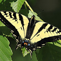 Yellow Swallow Tail Butterfly by Pierre Leclerc Photography