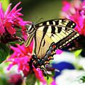 Yellow Swallowtail     by Tina LeCour