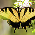 Yellow Swallowtail 6 by Pete Federico