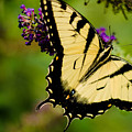 Yellow Swallowtail by Bruce Pritchett