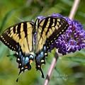 Yellow Swallowtail Butterfly Two by Debra Bender