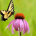 Yellow Swallowtail On Cone Flower by Larry Ricker