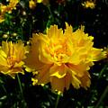 Yellow Symphony by Edan Chapman