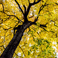 Yellow Tree by Michael Cummiskey