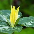 Yellow Trillium Flower Trillium Luteum by Panoramic Images